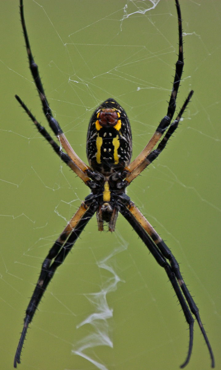 Argiope aurantia is known by a variety of names including the golden garden spider, yellow garden spider, black and yellow garden spider, corn spider, and writing spider.  They are common in other parts of the USA, as well as Florida.