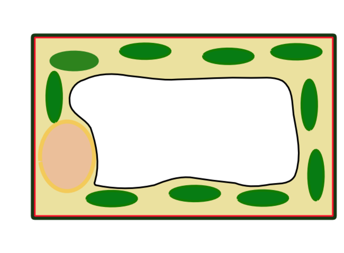 This simplified diagram of a plant cell shows clearly the rigid cell wall around the membrane, the large central vacuole and the green chloroplasts in the cytoplasm.