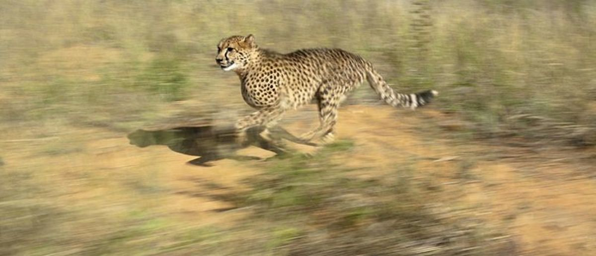 Self-motivated movement is another of the key characteristics of life. This cheetah has evolved to reach speeds of up to 60 miles per hour in order to catch its prey.