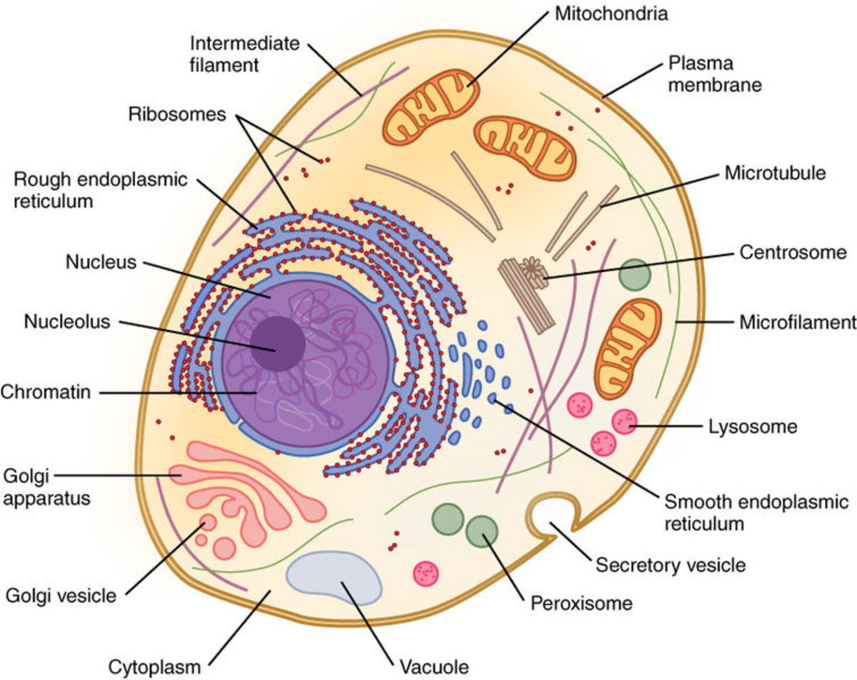 This schematic diagram shows a generic animal cell and the organelles, including the nucleus, endoplasmic reticulum, golgi apparatus, ribosomes, lysosomes, centrioles and mitochondria.