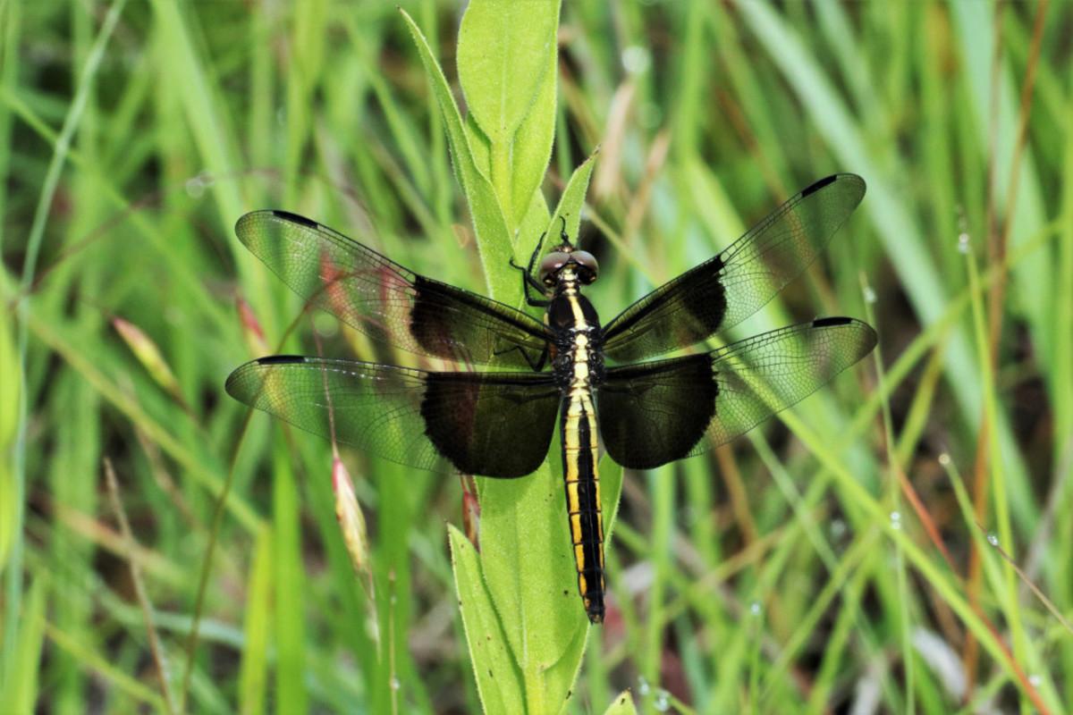 Female widow skimmer dragonfly.