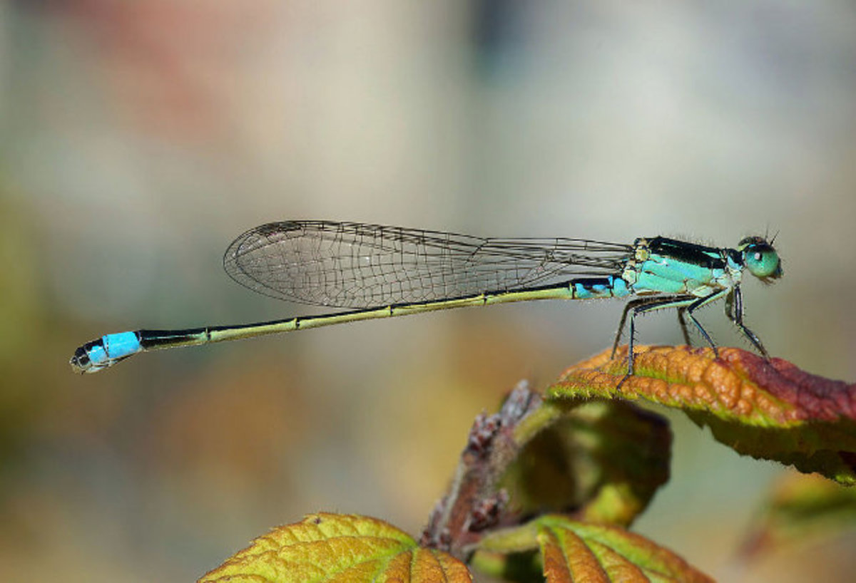 Damselfly. Notice wings held together close to body.