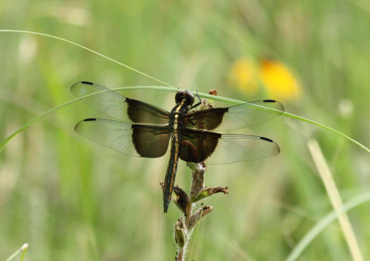 Female widow skimmer dragonfly, warming her wings in the sun.