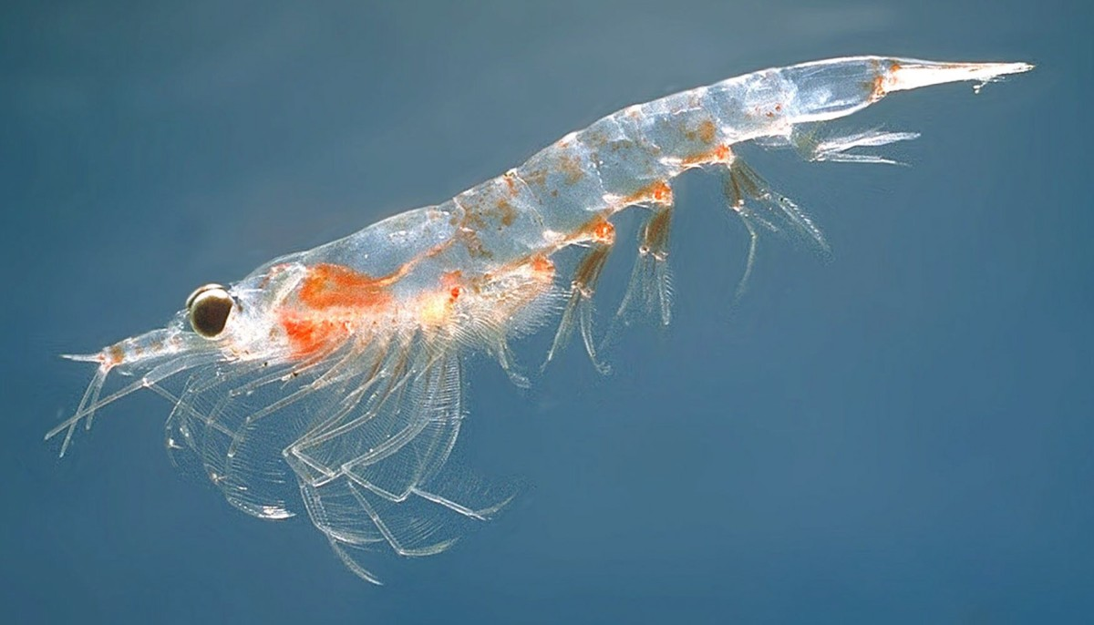 A Northern krill, or Meganyctiphanes norvegica
