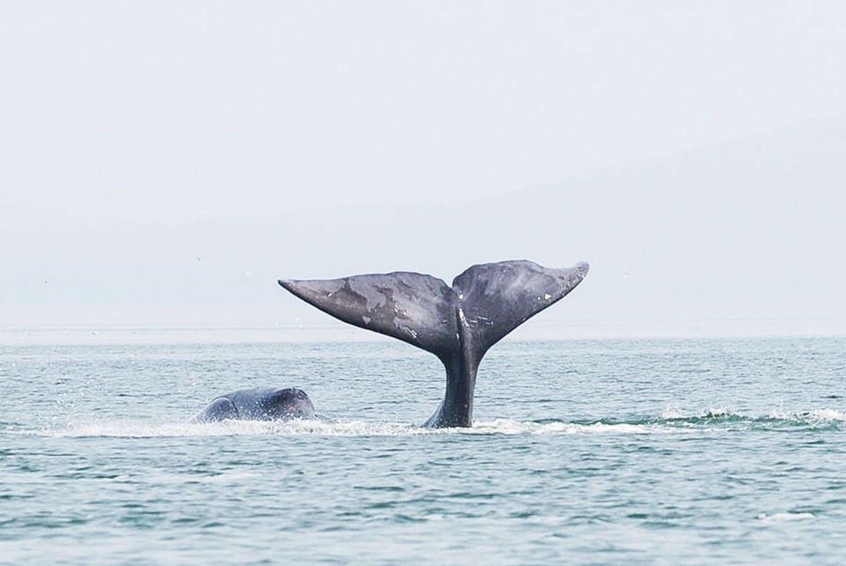 The tail flukes of a bowhead whale in the Sea of Okhotsk