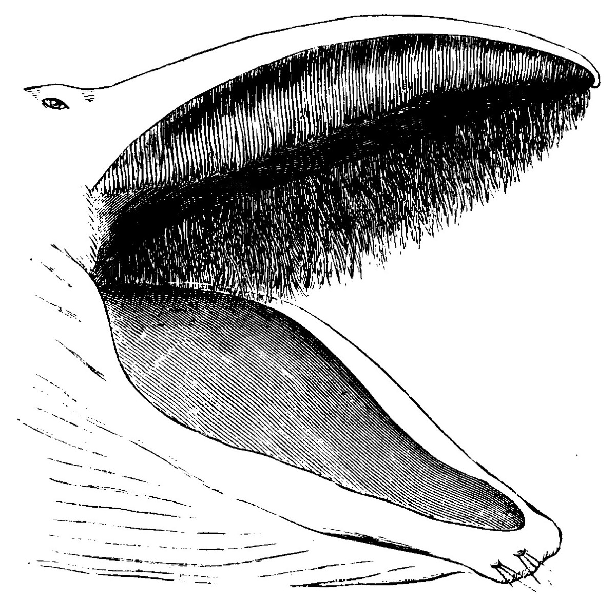 The arrangement of the baleen