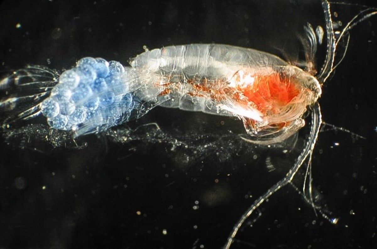 A copepod with attached eggs