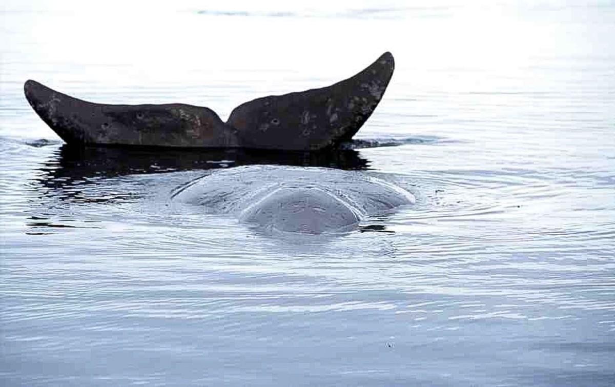 A bowhead whale in Foxe Basin