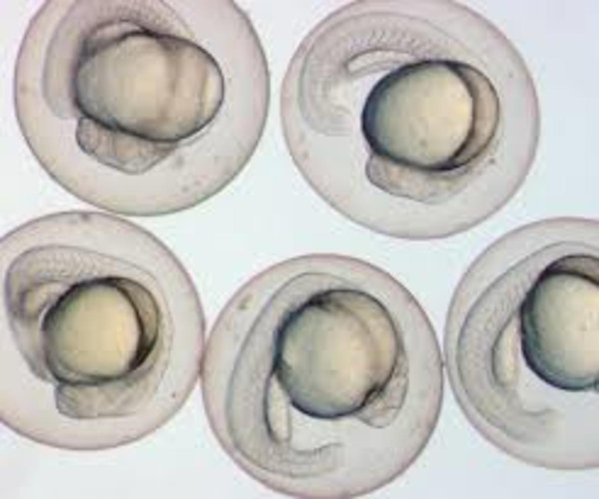 Transparent embryos means you can see the whole organism develop easily.