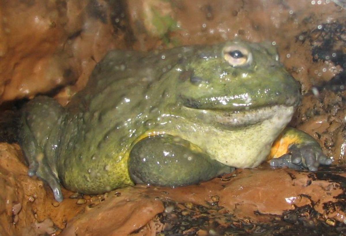South African Bullfrog (Pyxicephalus adspersas)