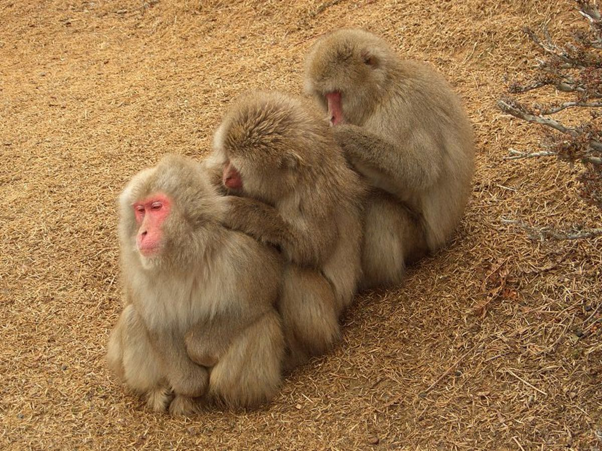 Monkeys grooming (Mucaca fuscata)