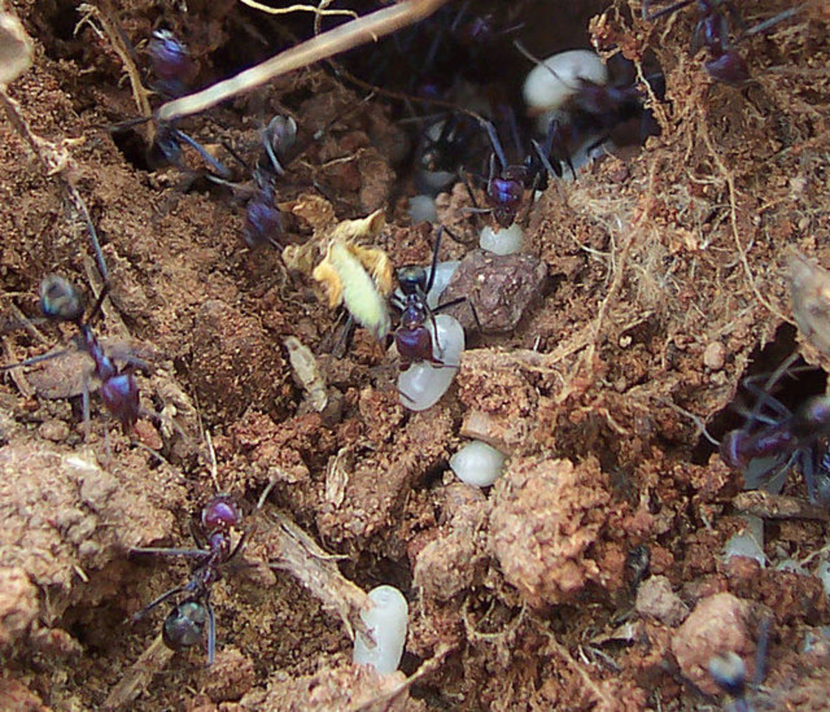Ants caring for their eggs