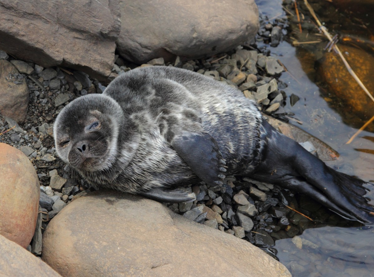 Young Ringed Seal   (Pusa hispida botnica)