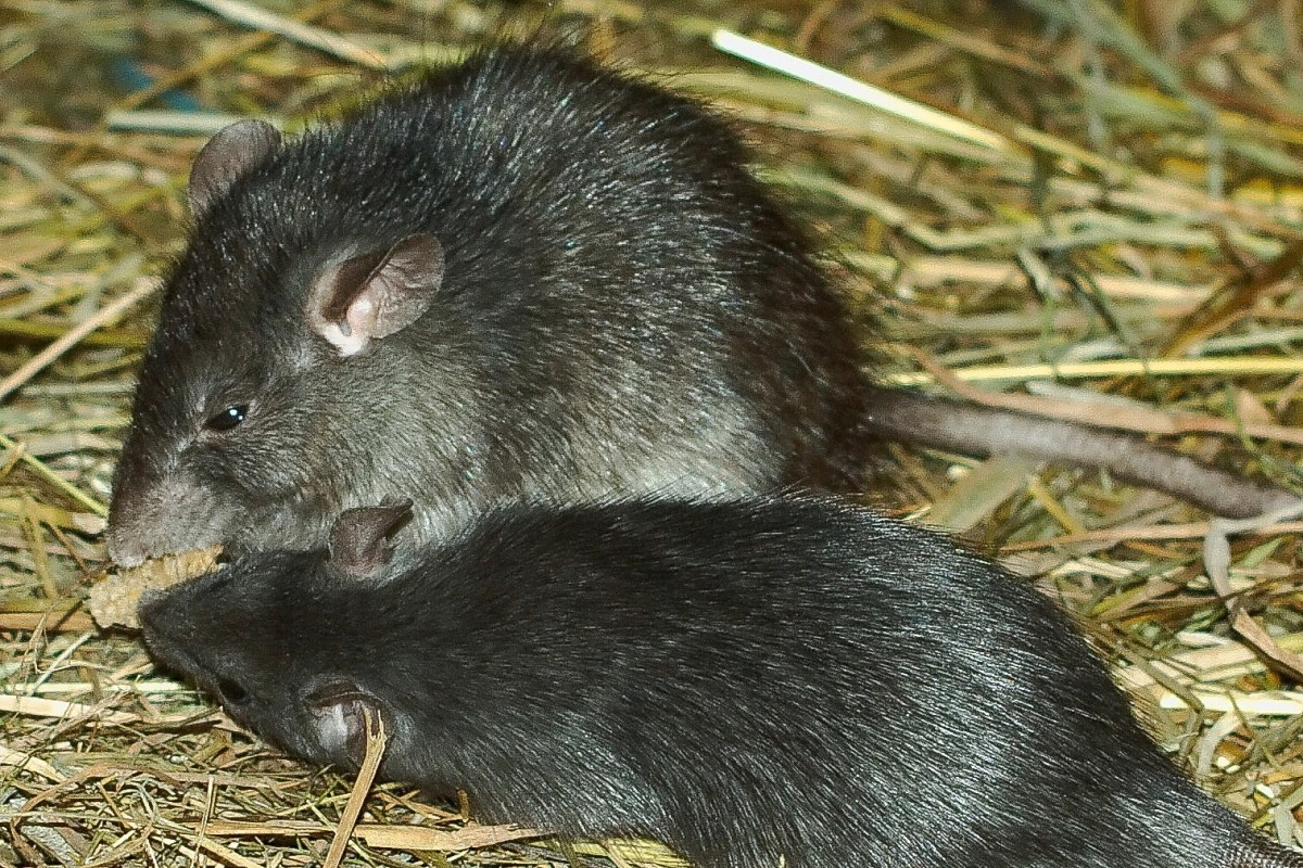 These are black rats (Rattus rattus) in a zoo. Black rats are believed to have played an important role in the Black Death.