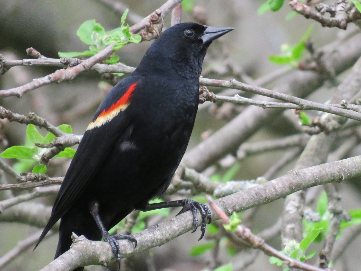 The red-winged blackbird is one of the most common birds in North America.