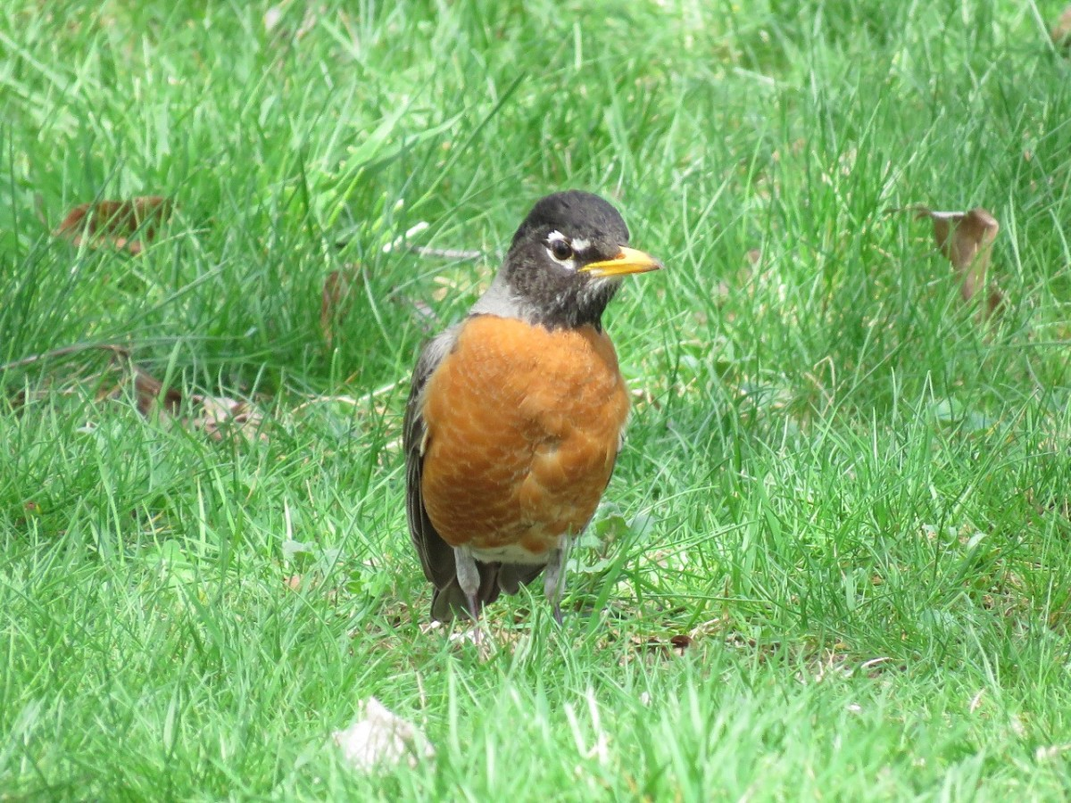 There are an estimated 300 million American robins in North America.