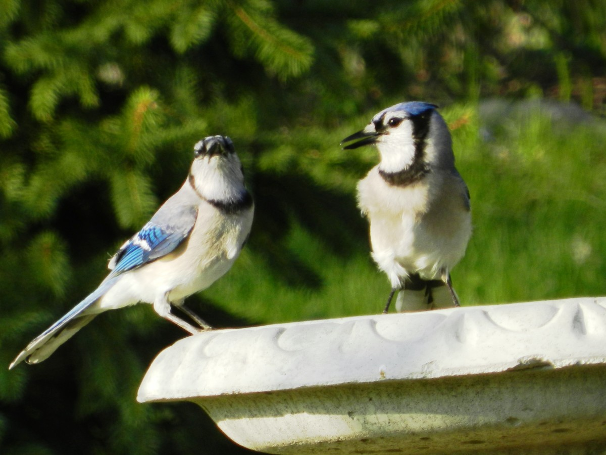 Blue Jays at Bird Bath