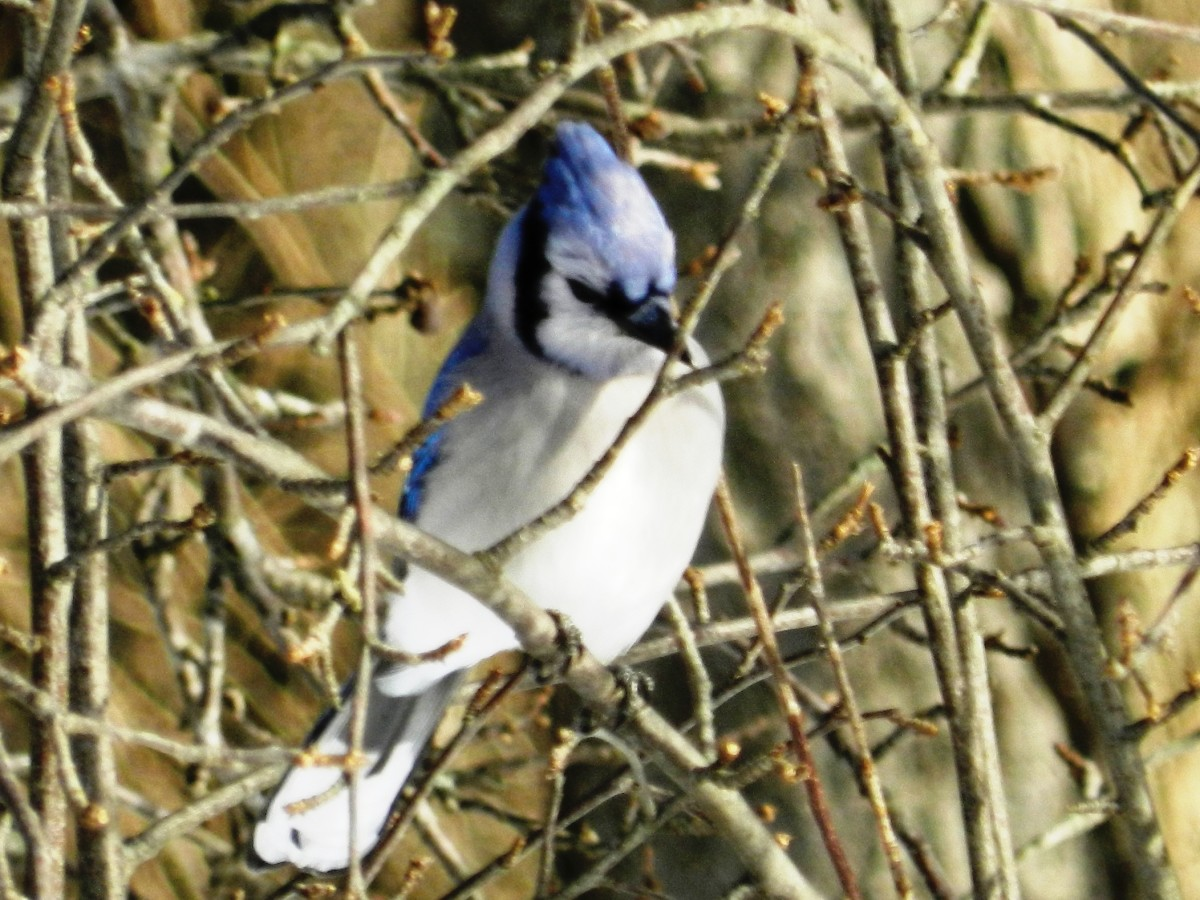 Blue Jay in Apple Tree