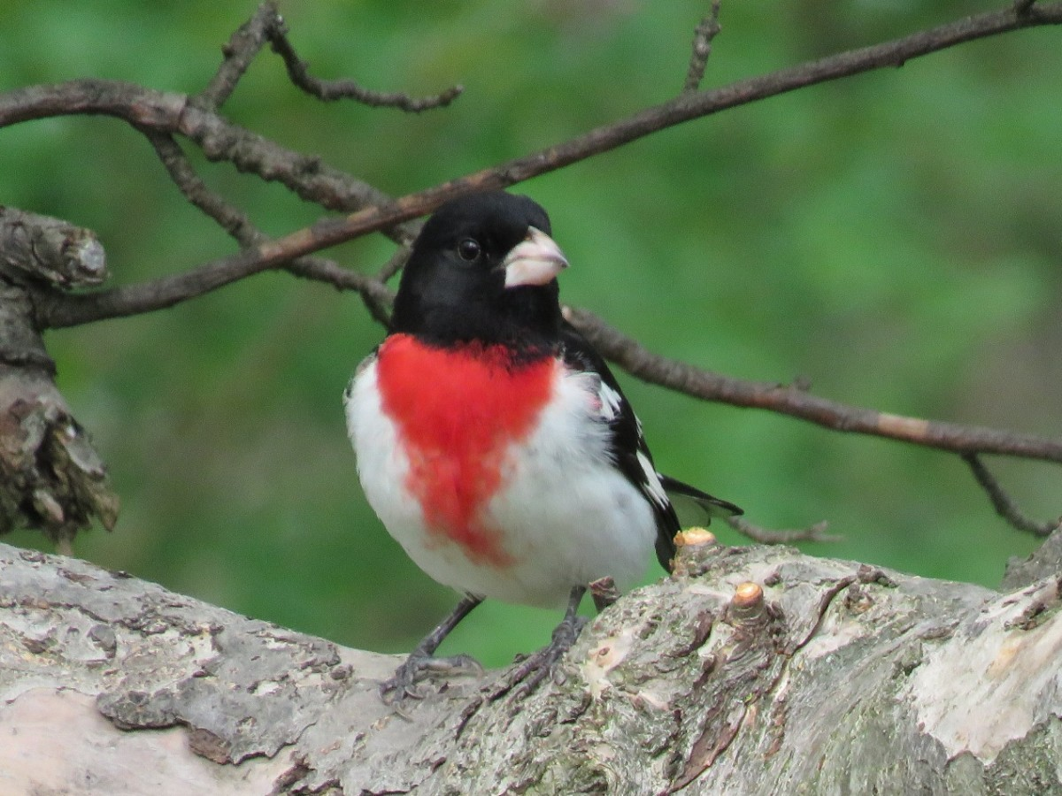 The Rose-breasted Grosbeak will come to your bird feeder for sunflower seeds.