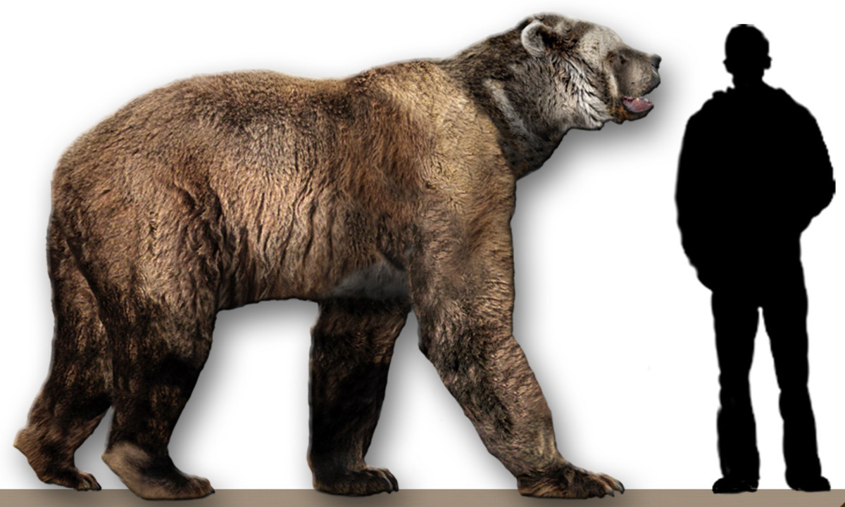 The giant short-faced bear Arctodu simus compared to a human.