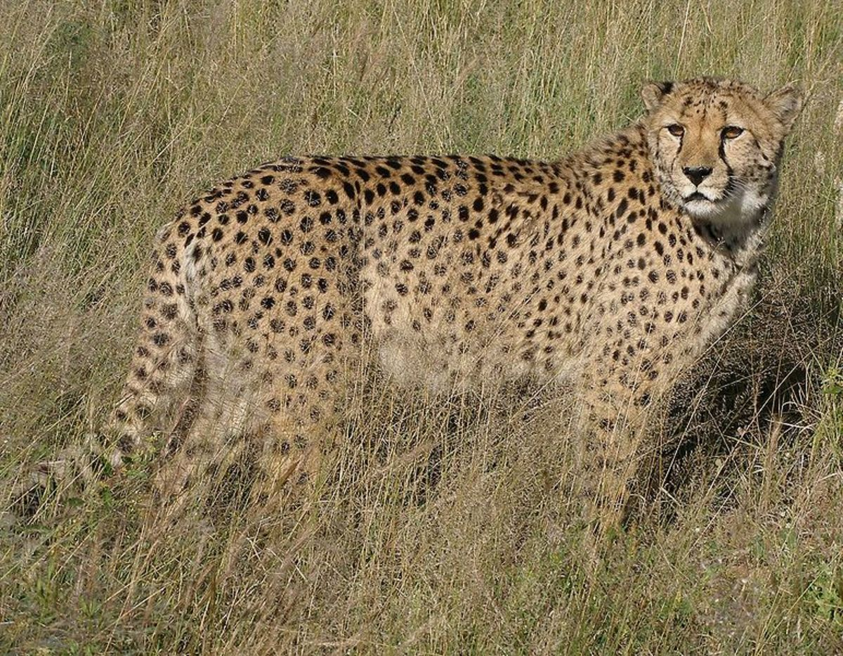 While once thought to be closely related to the African cheetah (pictured), Miracinonyx is now considered a seperate genus.