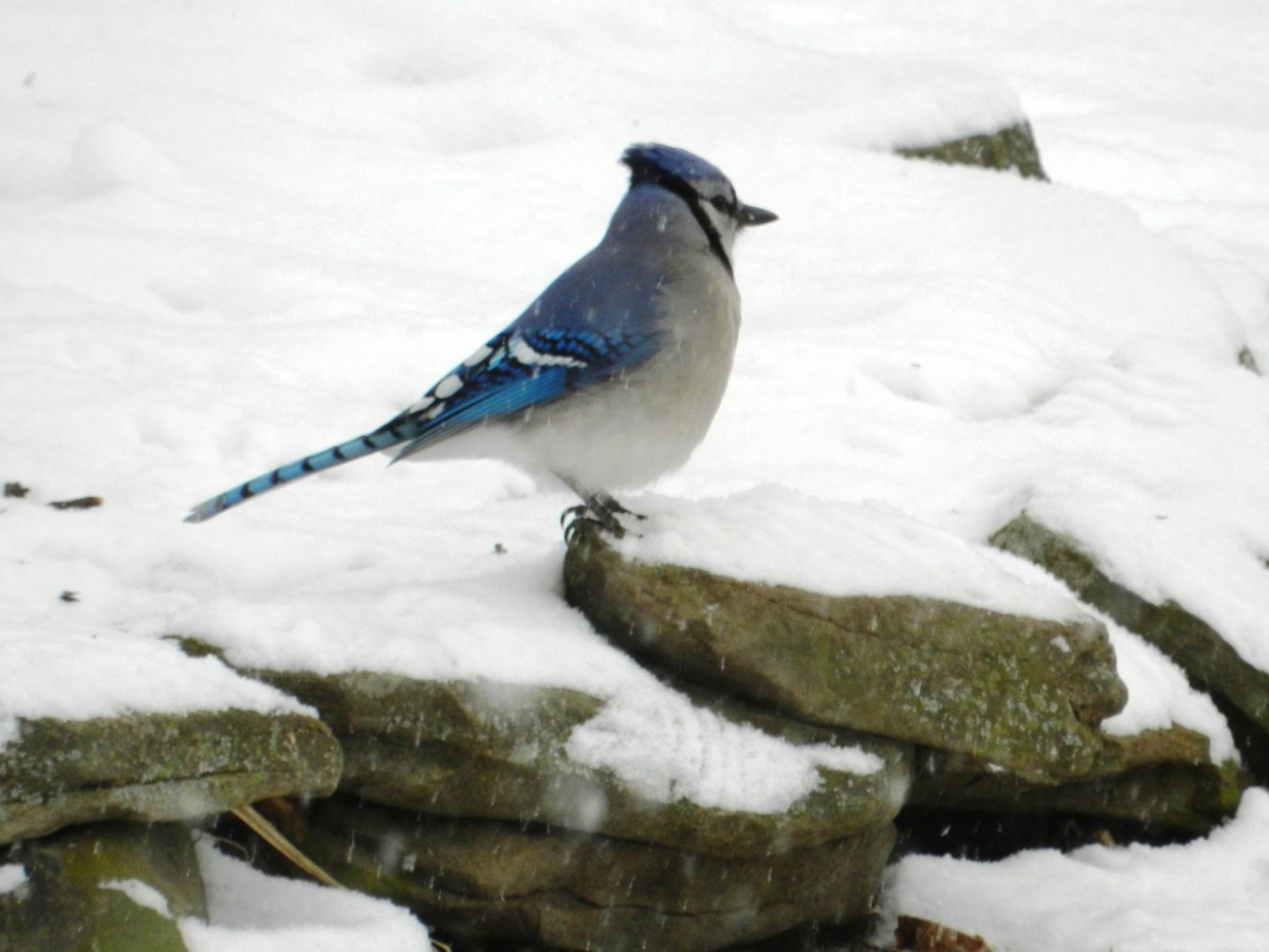 The blue jay sticks it out through the snowy winter .