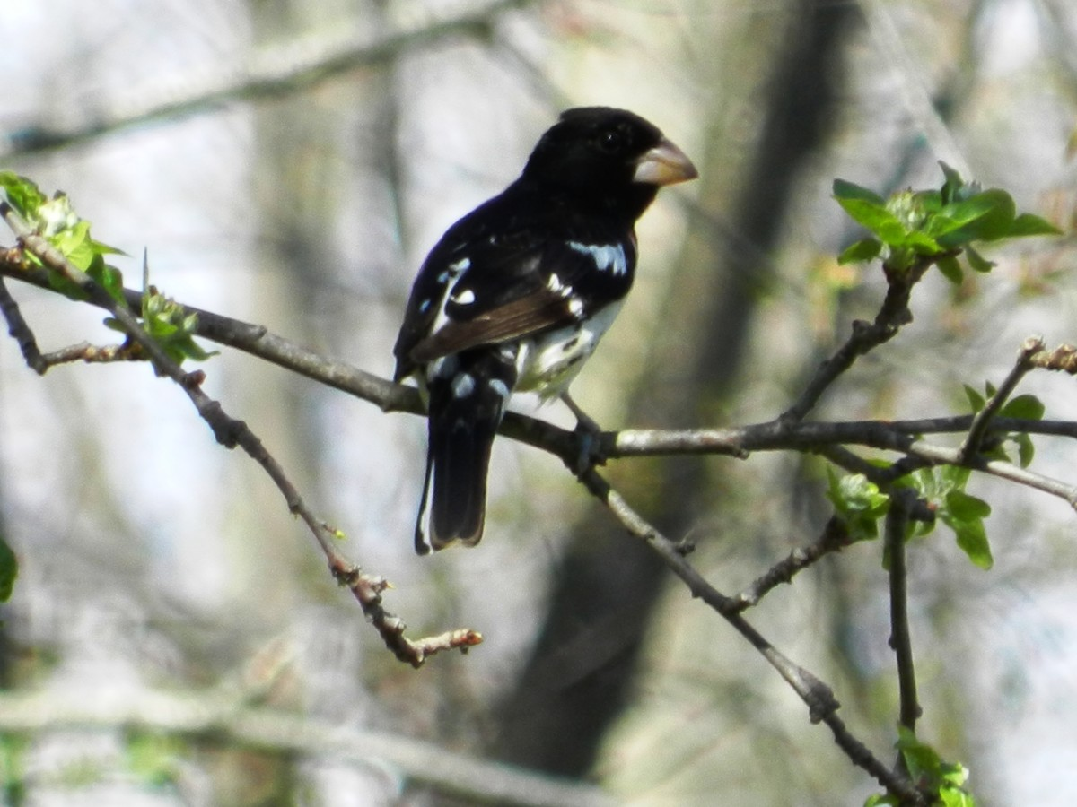 The rose-breasted grosbeak will fly south for the winter, and may migrate as far as South America.