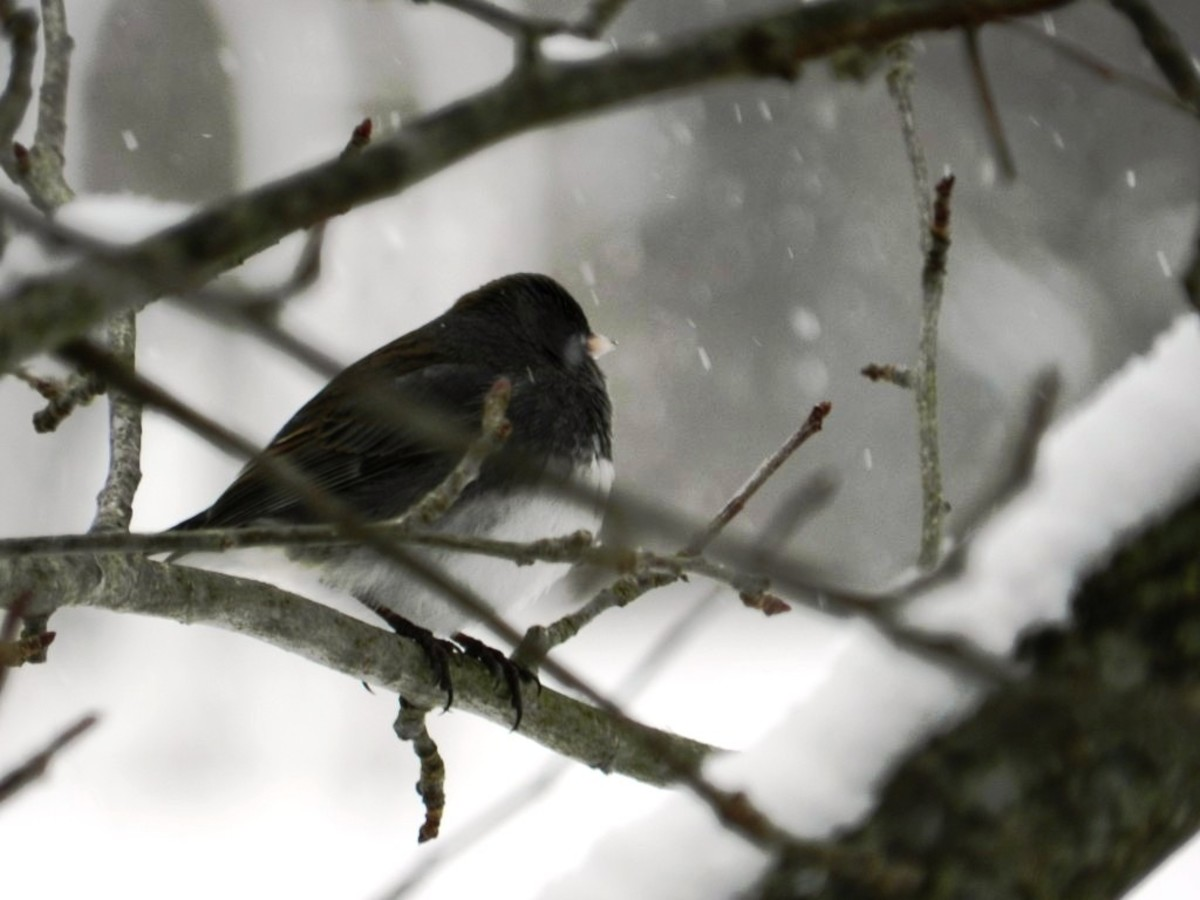 The dark-eyed junco spends its winters in the United States and migrates to Canada for the summer months.