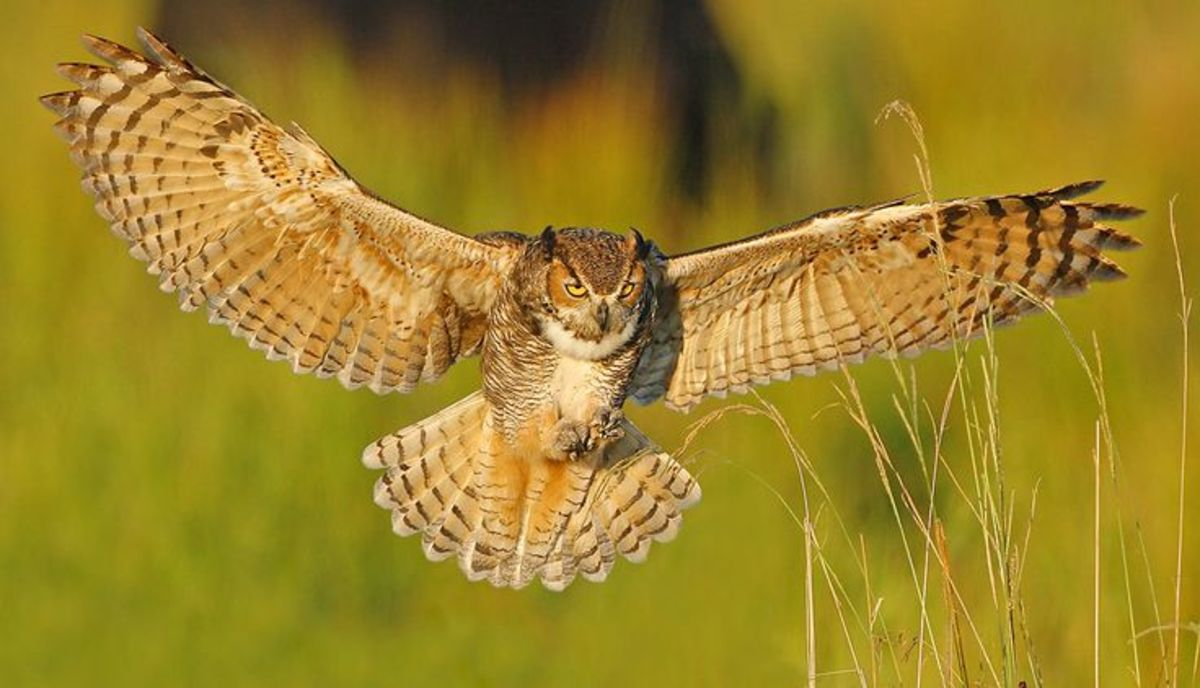 A beautiful great horned owl soaring through the air.