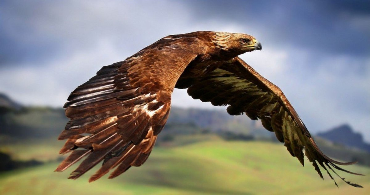 Golden eagles are the sworn enemies of great horned owls and their only true threat.