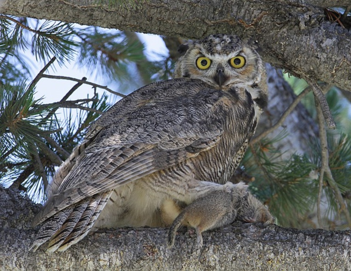 A great horned owl with a meal.