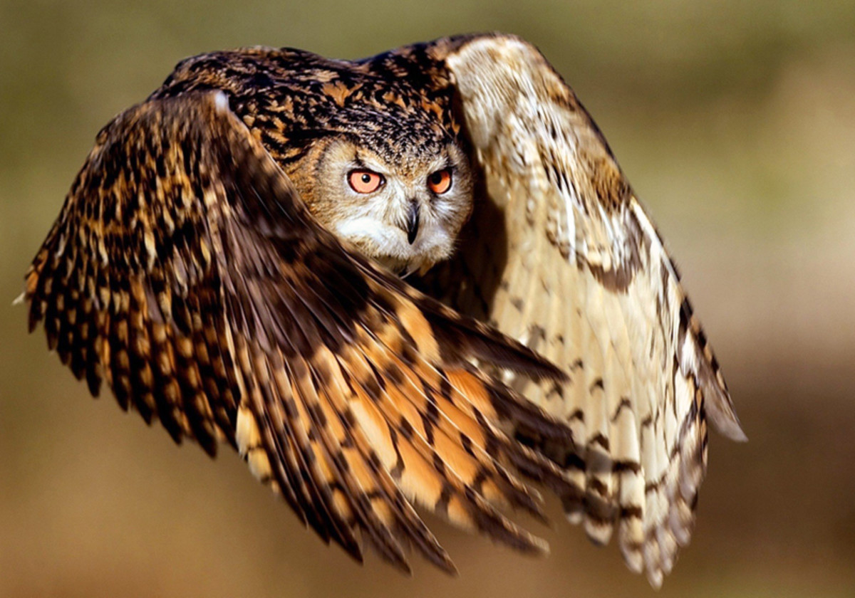 This is an amazing photo of a great horned owl in flight.