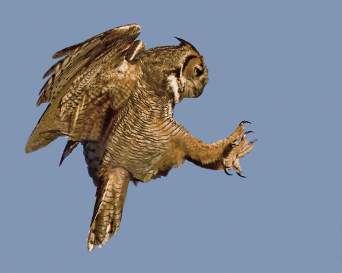 The great horned owl ready to strike.