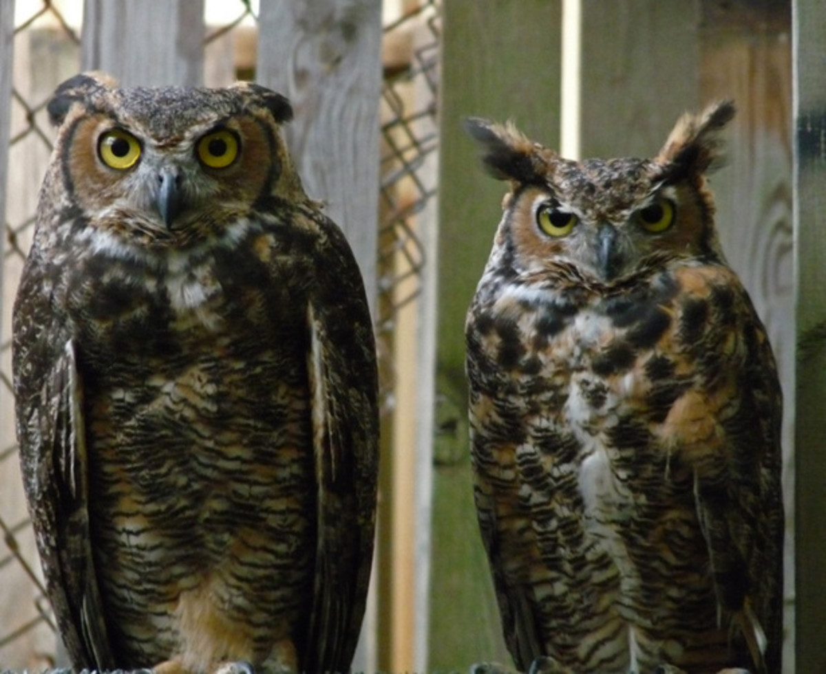 The female is larger than the male, as a rule, with the great horned owls.
