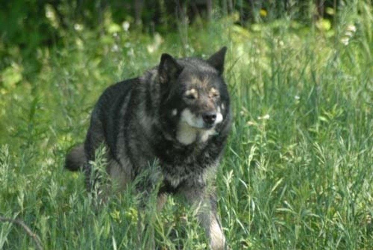 A wolf/dog hybrid.