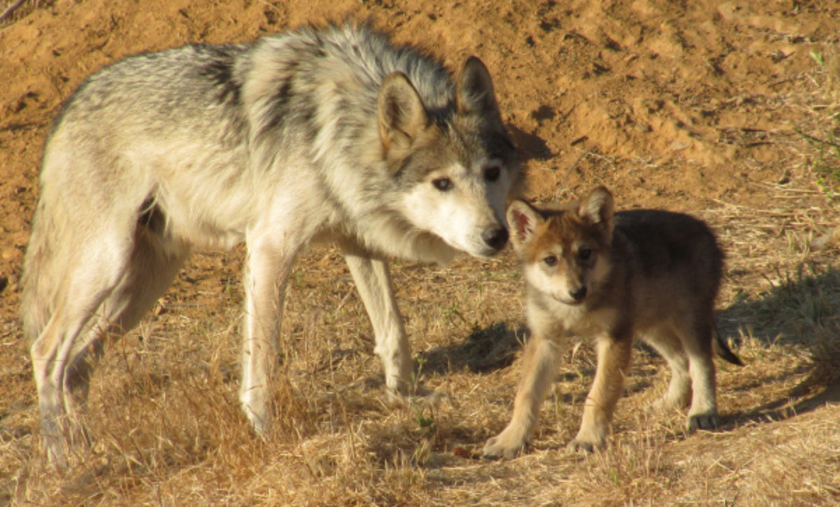 A Mexican grey wolf mother and pup.