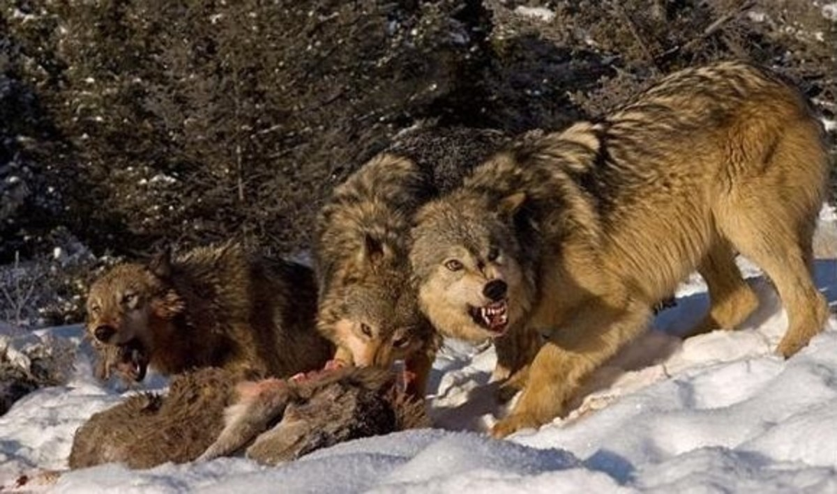 Grey wolves feeding.