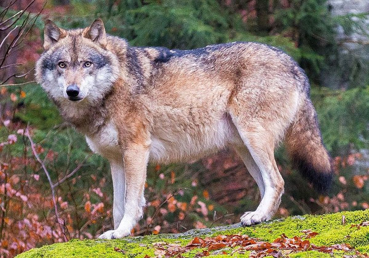 A European grey wolf in Bavaria.
