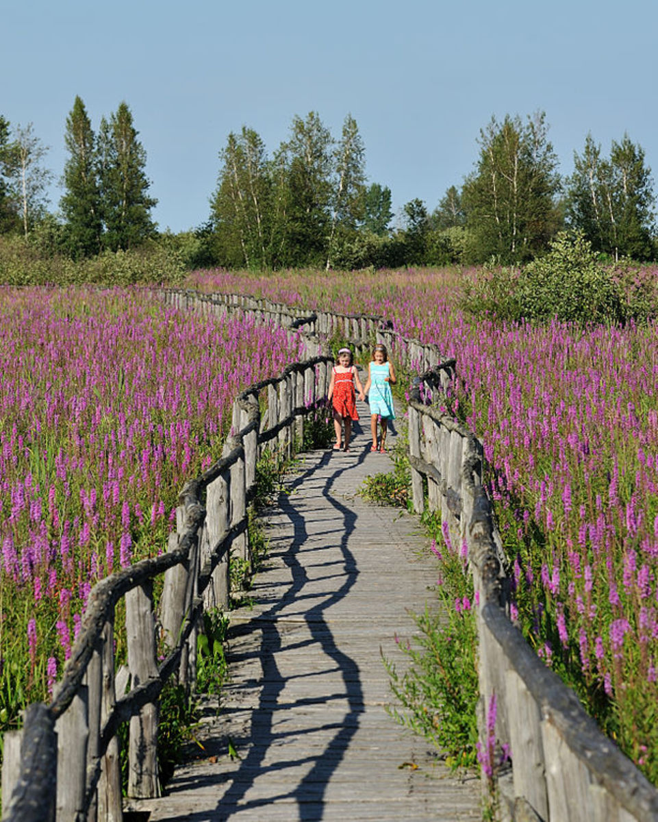 The invasive purple loosestrife dominates Cooper Marsh Conservation Area, near Cornwall, Ontario, having displaced native species.  Photo by Silver Blaze, courtesy Wikimedia Commons.