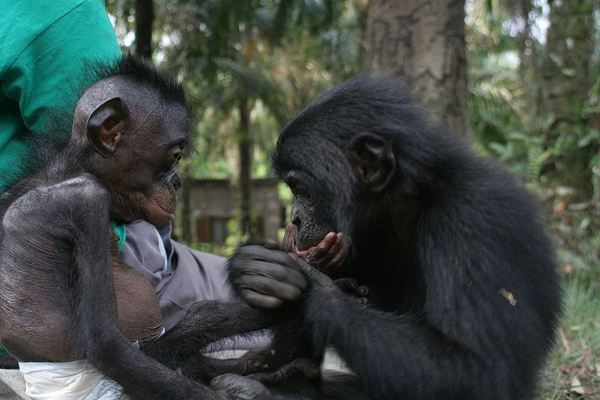 Young bonobos at a sanctuary, 2002.  Photo by Vanessa Wood, courtesy Wikimedia Commons.