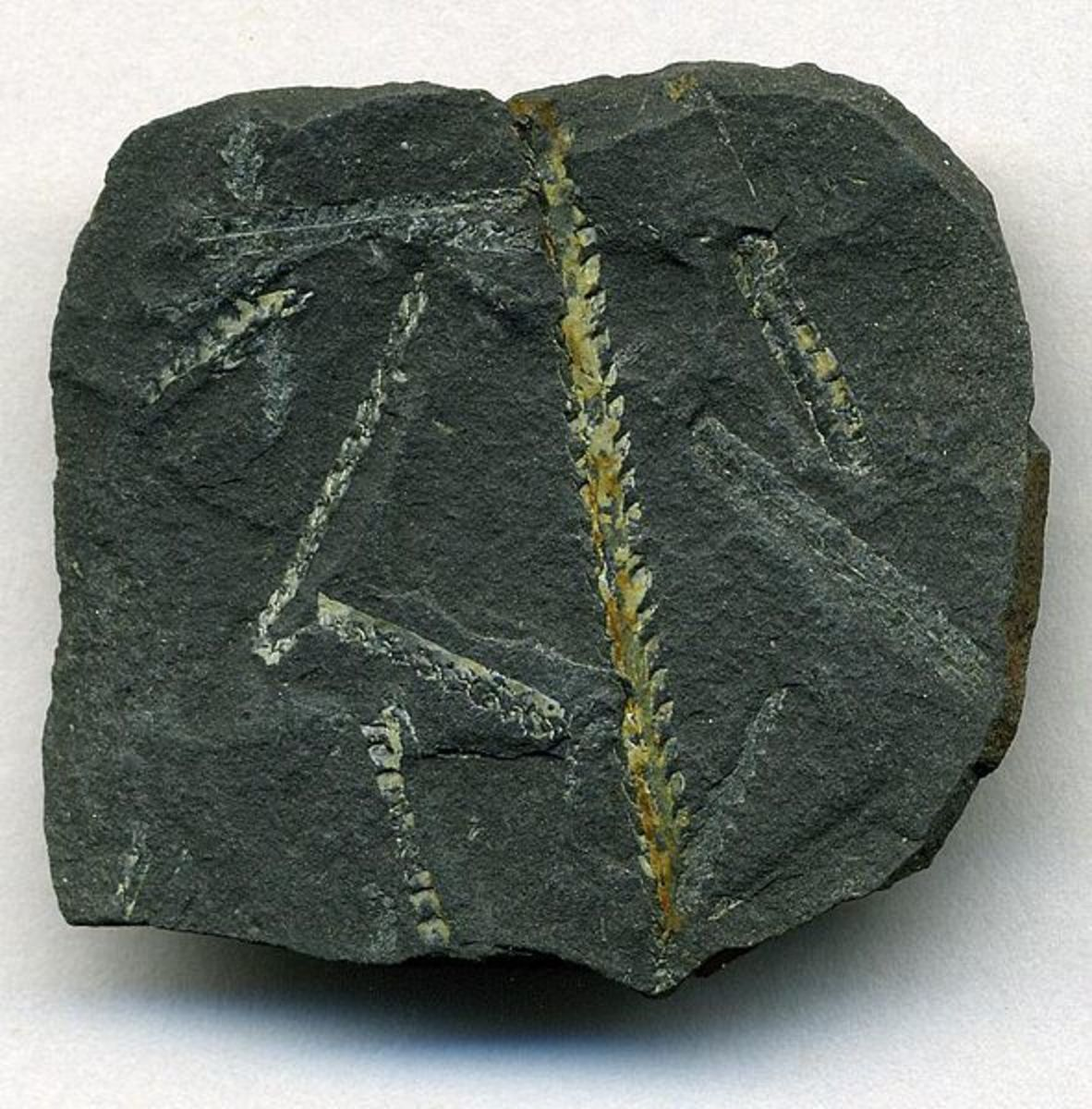 Graptolite fossils from Dobb's Linn.  Image courtesy Wikimedia Commons.
