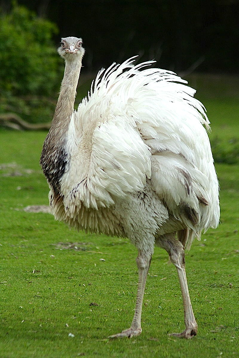 Rhea americanum.  Photo by Fred Schwoll, courtesy Wikimedia Commons.