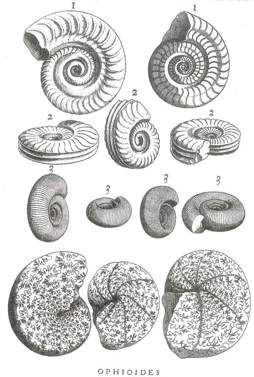 Ammonite fossils, from a 1717 illustration.  Courtesy Wikimedia Commons.
