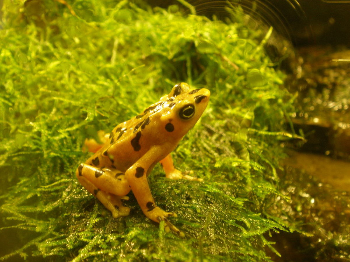 The Panamanian Golden Frog, Atelopus zelecki, at the National Zoo, 2011. Photo by sesamehoneytart, courtesy Wikimedia Commons.