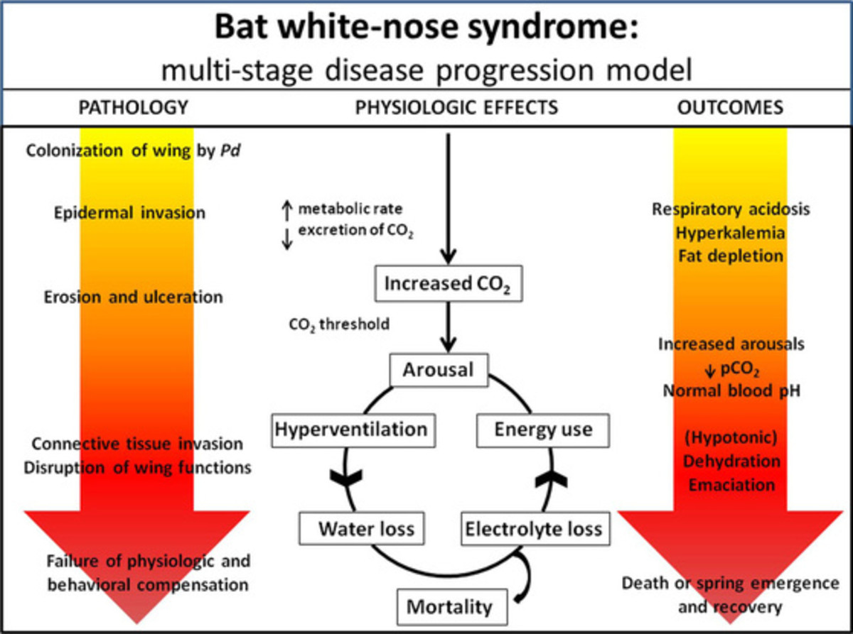Disease processes in 'white-nose syndrome.'