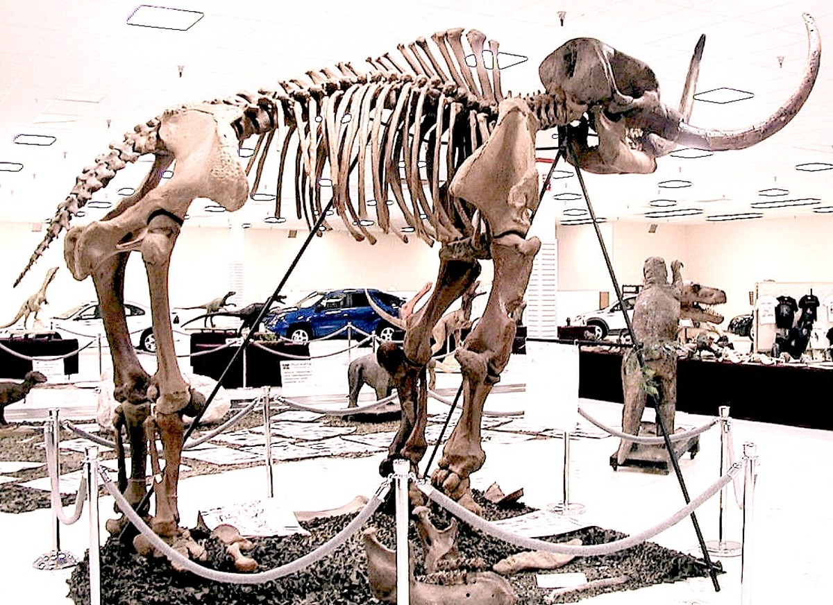 The most complete Mammut americium skeleton, the Burning Tree Mammoth, found 1989 in Heath, Ohio.  Image courtesy Wikimedia Commons, manipulated by author.