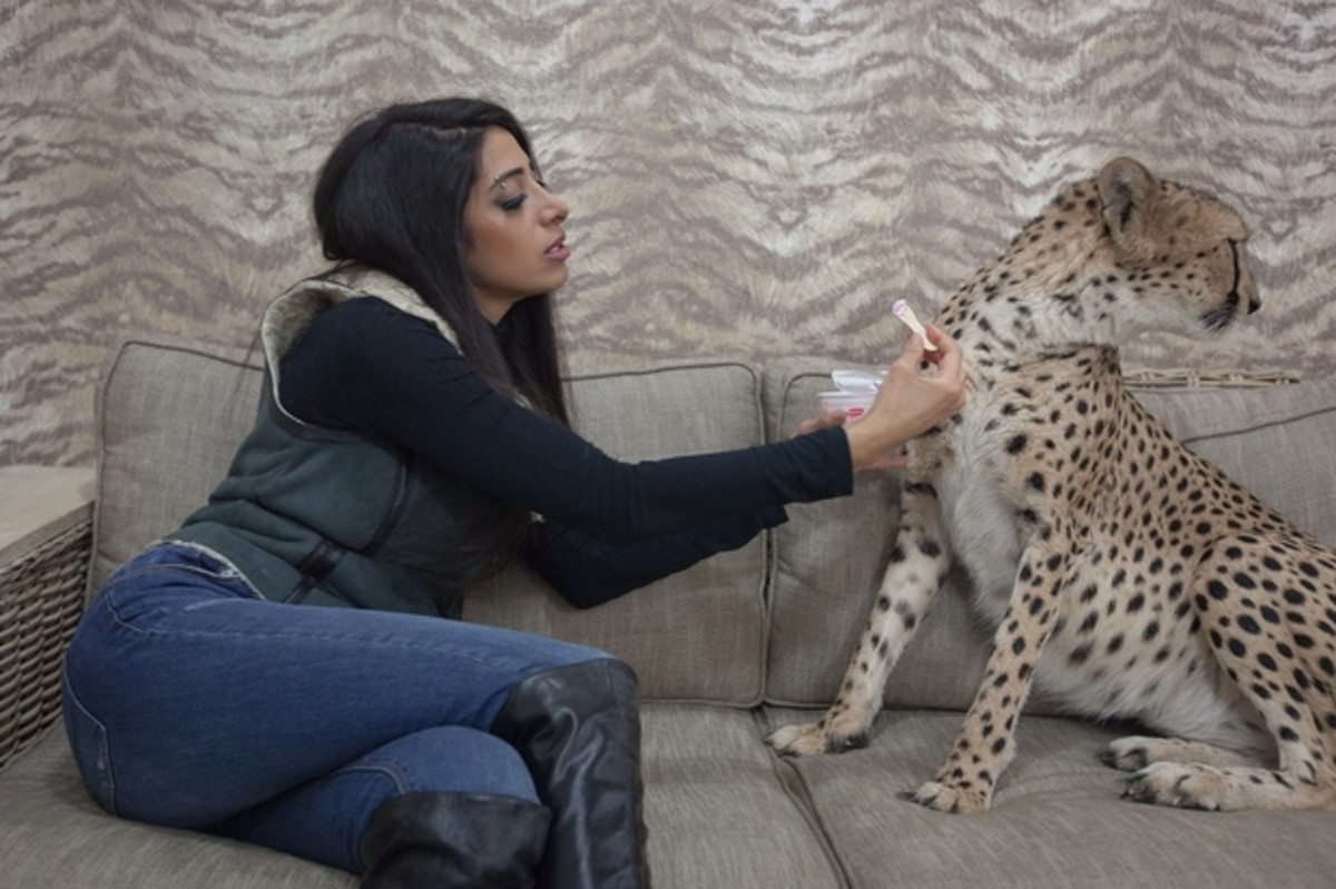 Shahad al-Jaber, 32, gives ice cream to one of her pet cheetah's on her sofa in Kuwait.