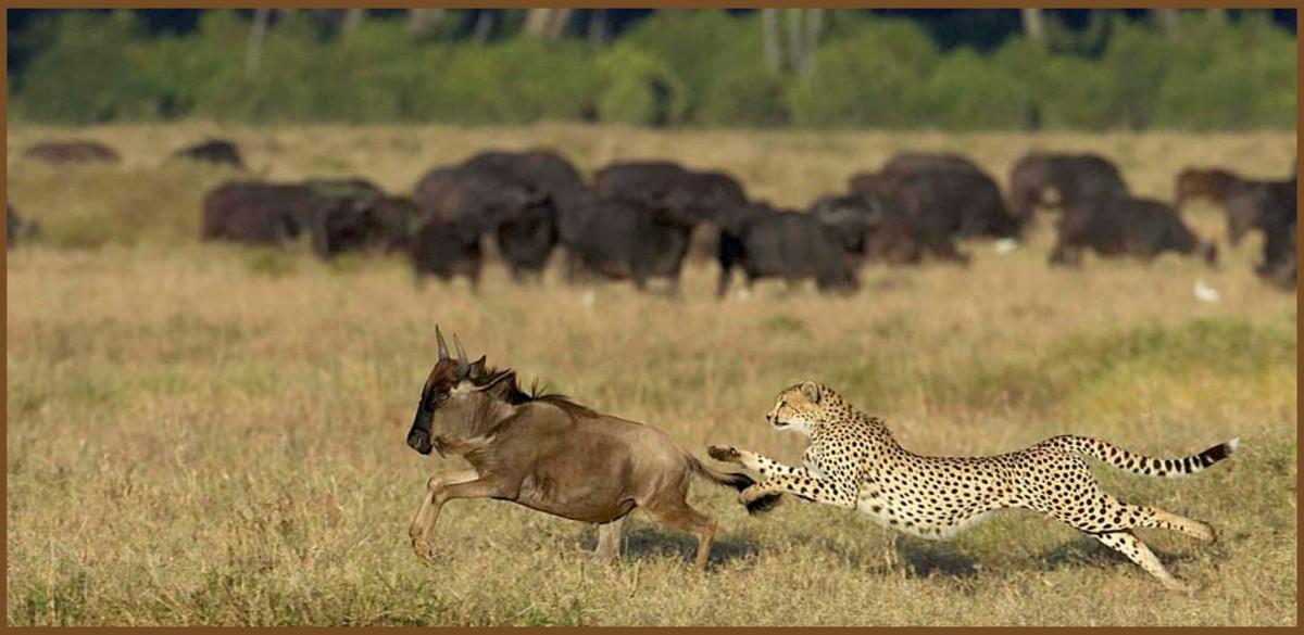 acinonyx-jubatus-the-cheetah
