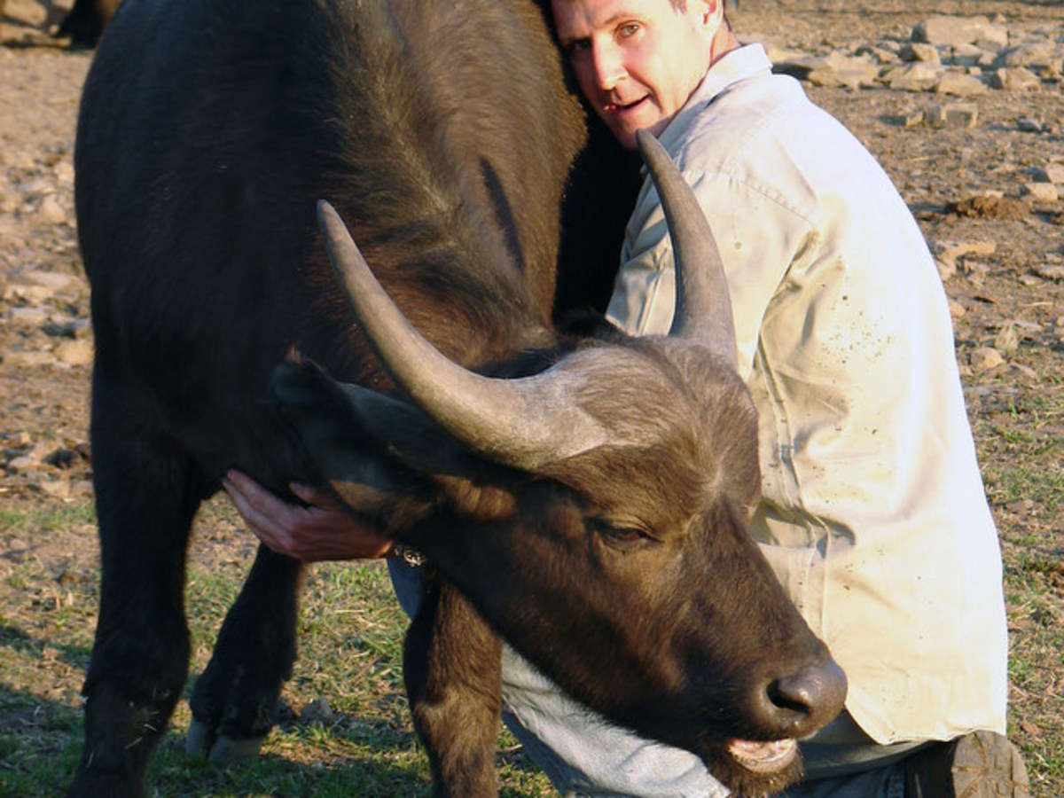 Lindsay Hunt says we should stop thinking of the Cape buffalo as aggressive.