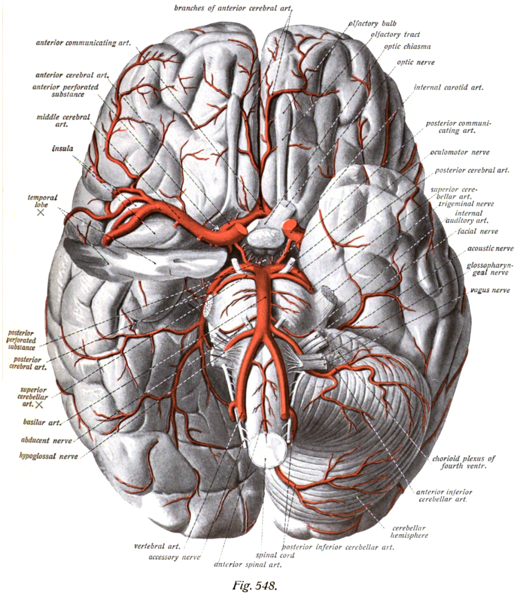 Artery positions in relation to the undersurface of the brain